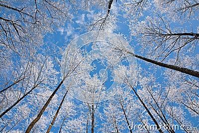 31 arbre daulne couronne la neige enveloppe contre le ciel bleu avec - Arbre Ciel