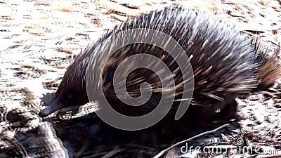 L'Australia, isola del canguro, escursione nell'entroterra, fine sulla vista di una camminata dell'echidna stock footage