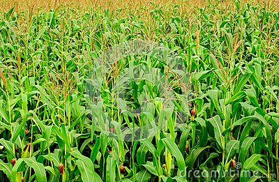 L azienda agricola del cereale