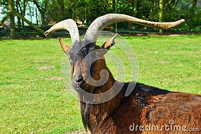 Él-Cabra con la barba