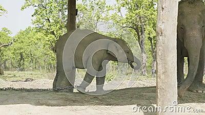 L'elefante del bambino raggiunge fuori alla mamma nell'azienda agricola del parco nazionale Chitwan, Nepal video d archivio