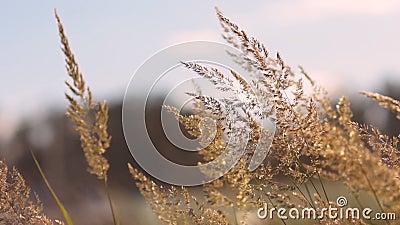 L'erba nel campo russo ondeggia in un forte vento archivi video