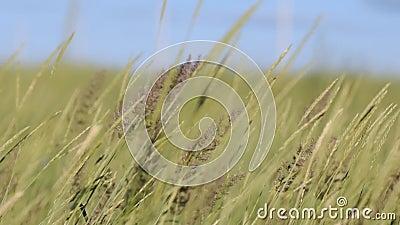 L'erba ondeggia in un forte vento video d archivio