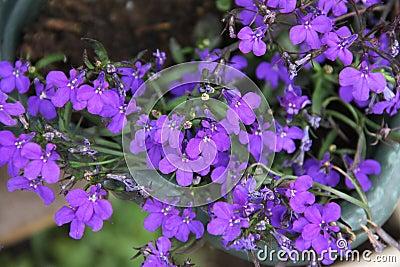 porpora del fiore di lobelia fotografia stock - immagine: 90233322 - Un Piccolo Giardino Fragrante