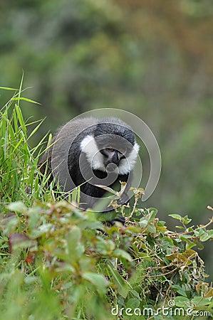 L Hoest s Monkey (Cercopithecus lhoesti)