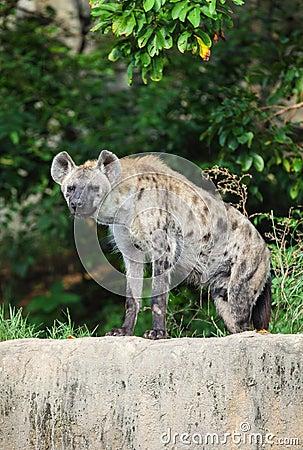 L hyène sont regard fixe à nous