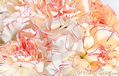 L oeillet Blanc-rose fleurit le fond