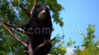 L'orso è sul legno asciutto dell'albero video d archivio