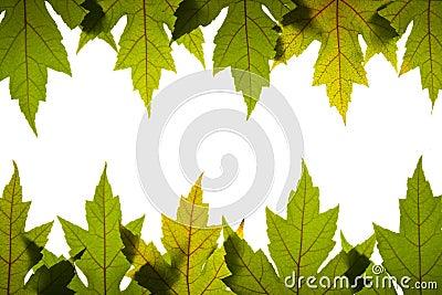 L érable laisse le vert avec les veines rouges éclairé à contre-jour
