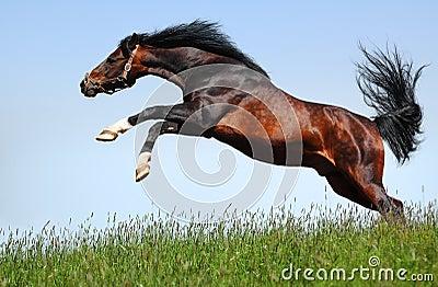 L étalon Arabe saute