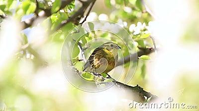 Fiori Bianchi Canzone.L Uccello Giallo Fra I Fiori Bianchi Di Una Pera Canta Una Canzone