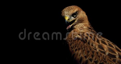 L'uccello predatore con piume marroni si guarda attorno con il becco aperto, falco archivi video