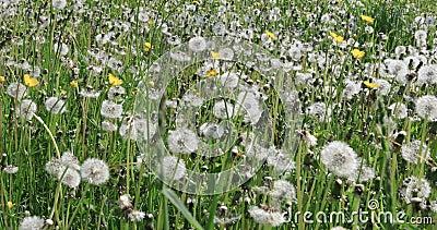 L?wenzahn-Blume in der Wiese stock footage