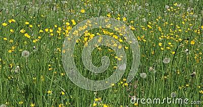 L?wenzahn-Blume in der Wiese stock video footage