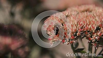 La abeja en la flor recoge el néctar almacen de metraje de vídeo