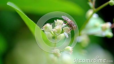 La abeja está buscando activamente la miel del loureiri del pollenTetracera, Dillenia almacen de metraje de vídeo