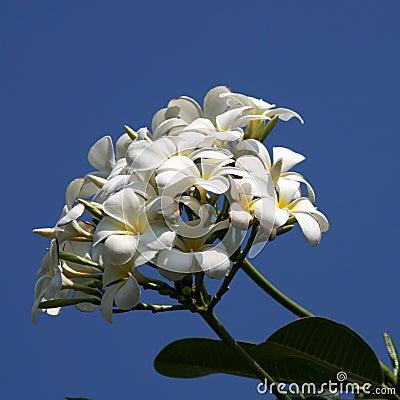 La belle fleur au cambodge image stock image 33587591 for La belle fleur