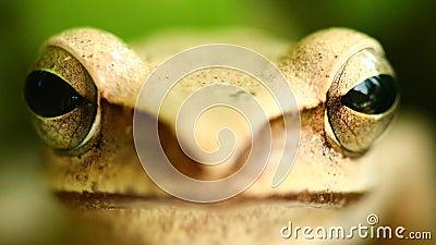 La cabeza de la rana arbórea y el retrato macros de los ojos que vuelan se cierran para arriba almacen de metraje de vídeo