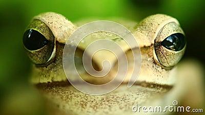 La cabeza de la rana arbórea y el retrato macros de los ojos que vuelan se cierran para arriba almacen de video