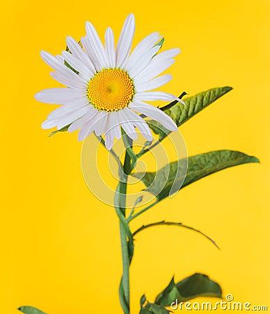 La fleur comme une marguerite photo stock image 43020441 - Image fleur marguerite ...