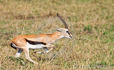 La gazelle de Grant mâle