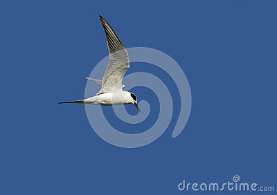 La golondrina de mar de Forster (forsteri de los esternones)