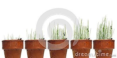 La hierba de observación crece