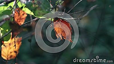 La hoja roja del otoño en el brunch está balanceando en el viento metrajes