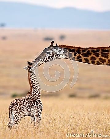 La jirafa de la mama besa a su bebé