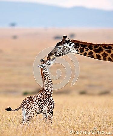 La jirafa de la mama besa su cachorro