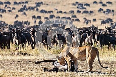 La leona se inclina hacia el wildebeest de la canal