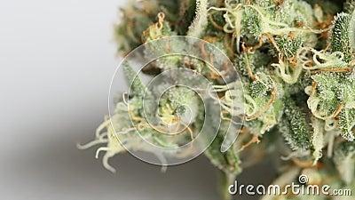 La MACRO vicina su di una cannabis femminile fiorisce il giorno di raccolta stock footage