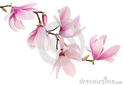 La magnolia rose de ressort fleurit la branche