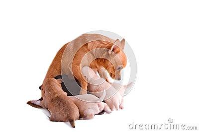 La mama de la chihuahua está amamantando sus perritos