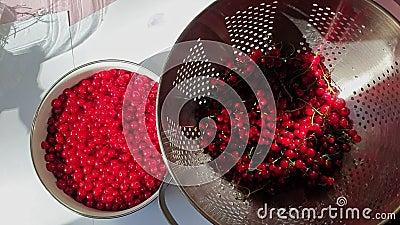 La mano femenina de la cosecha de la pasa roja limpia bayas del redcurrant de tallos y los vierte en el cuenco Visi?n superior almacen de video