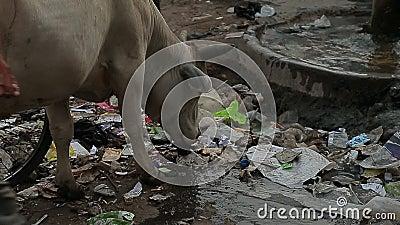La mucca mangia i rifiuti alla via Povertà India della sporcizia dell'immondizia video d archivio