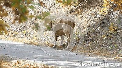 La mucca per strada video d archivio