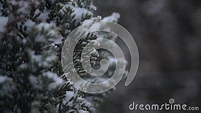 La nieve cae sobre las ramas de thuja en el jardín Clima de invierno nevado Ramas de árboles de Thuja cubiertas por la primera ni almacen de metraje de vídeo