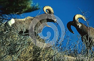 La oveja de Bighorn pega la lucha