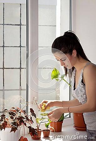 La ragazza pulisce una polvere dalle foglie della pianta da appartamento