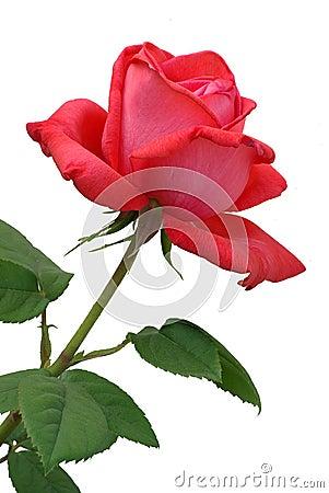 La rosa di colore rosso ha descritto 2