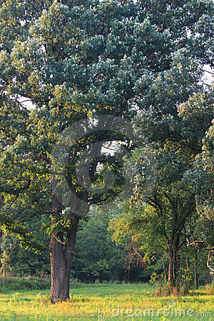 La savane de chêne en Illinois