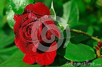 La singola rosa di colore rosso ha imperlato con rugiada
