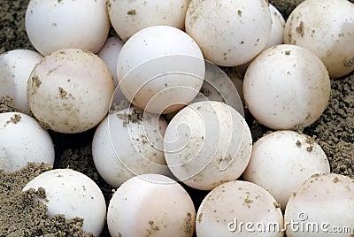 La tartaruga di schiocco Eggs (serpentina del Chelydra)