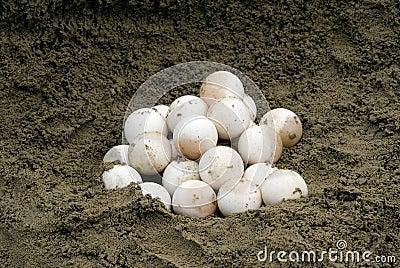 La tortue étant enclenchée Eggs (le serpentina de Chelydra)