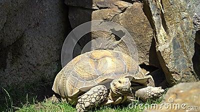 La tortue s'y déplace clips vidéos