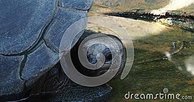 La tortuga gigante Aldabra, Aldabrachelys gigantea en la isla Curieuse, lugar de un exitoso programa de conservación de la tortug almacen de metraje de vídeo