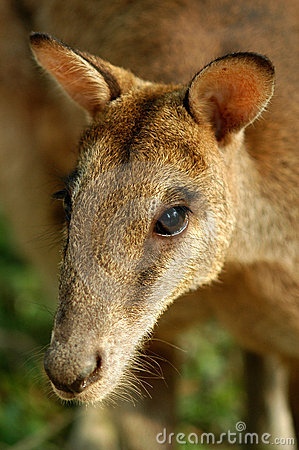 La verticale du kangourou