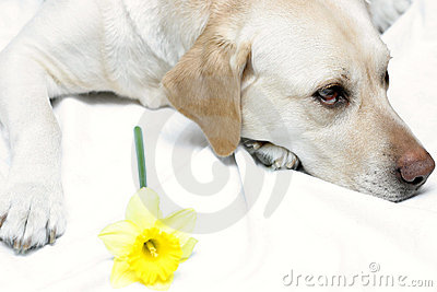 Lab and Daffodil II