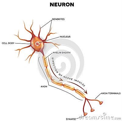 Labeled diagram of the neuron cartoon vector cartoondealer labeled diagram of the neuron cartoon vector publicscrutiny Image collections